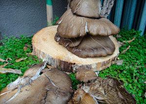 Удаление пня с применением грибов