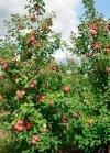 Плодовые саженцы для сада